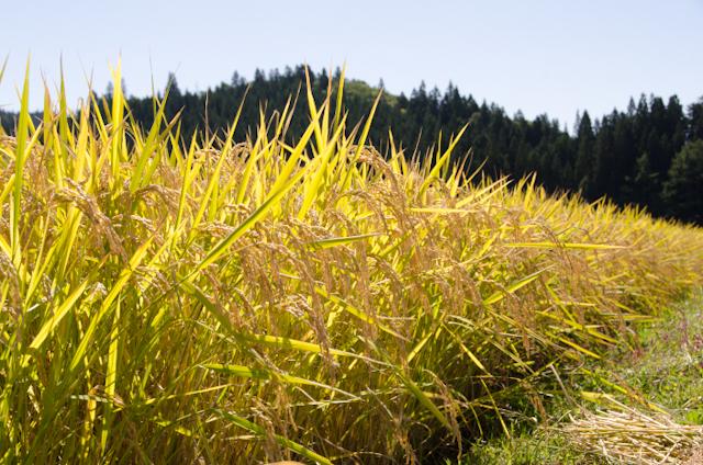 収穫目前のあきたこまち(2013秋田産地訪問)