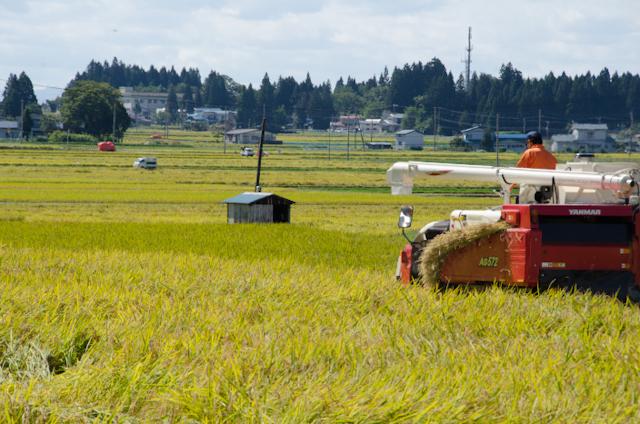 収穫が始まりました(2013秋田産地訪問)