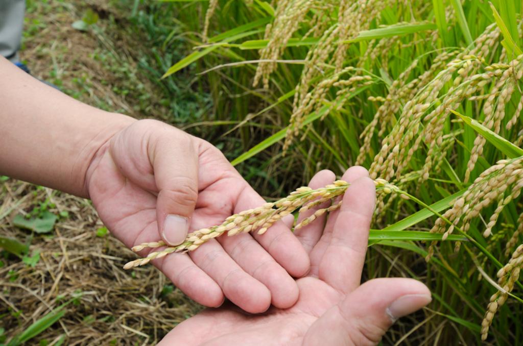 1粒のタネもみから何つぶのお米がとれる?