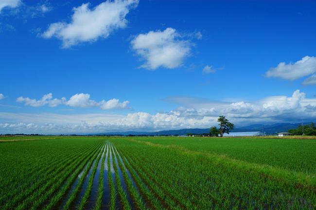 「お米品種」作付割合 令和2年産