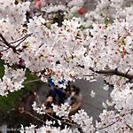 新河岸川「桜まつり」