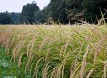 有機栽培の生育状況(栃木へ)
