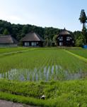 稲の生育を確認に「新潟」へ
